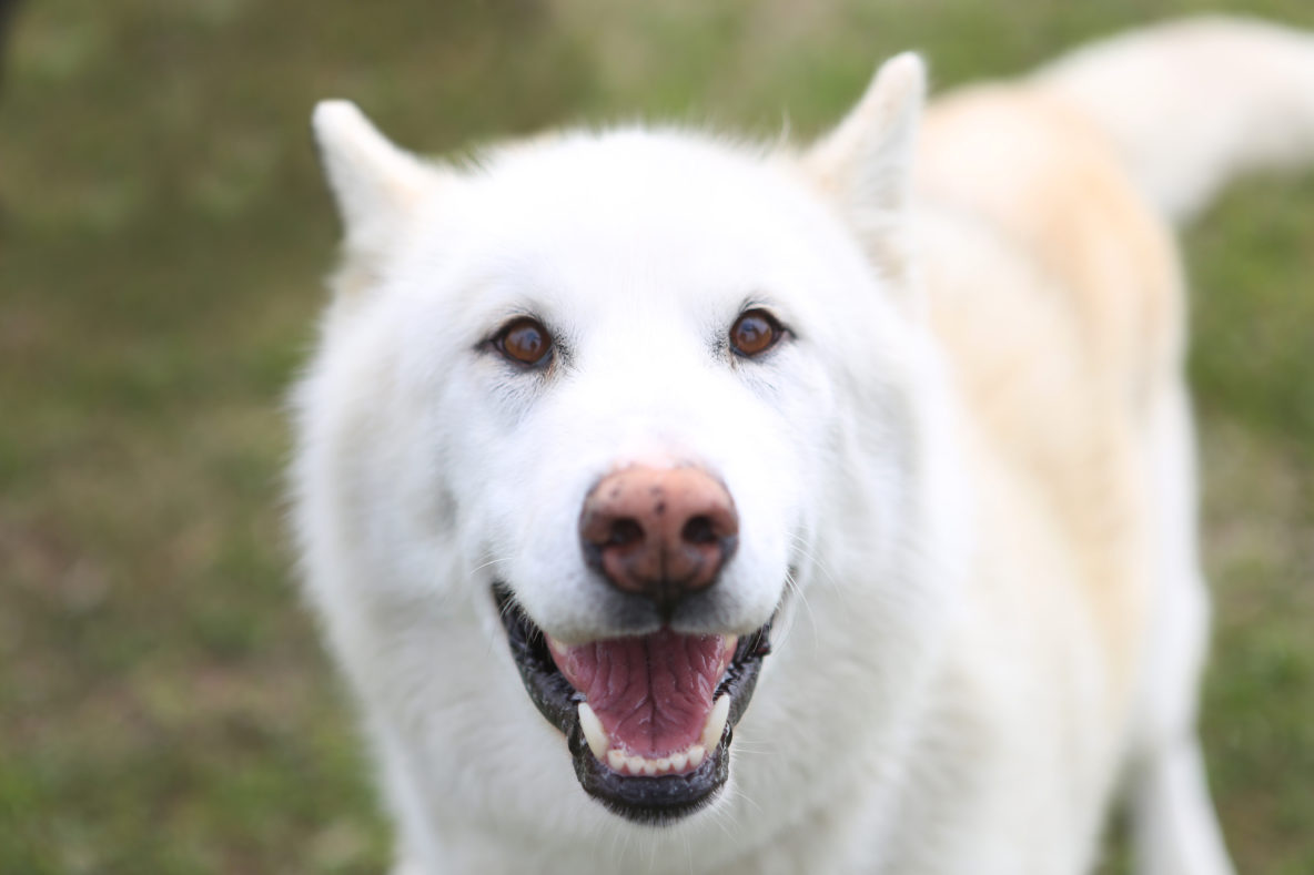sled dog white husky