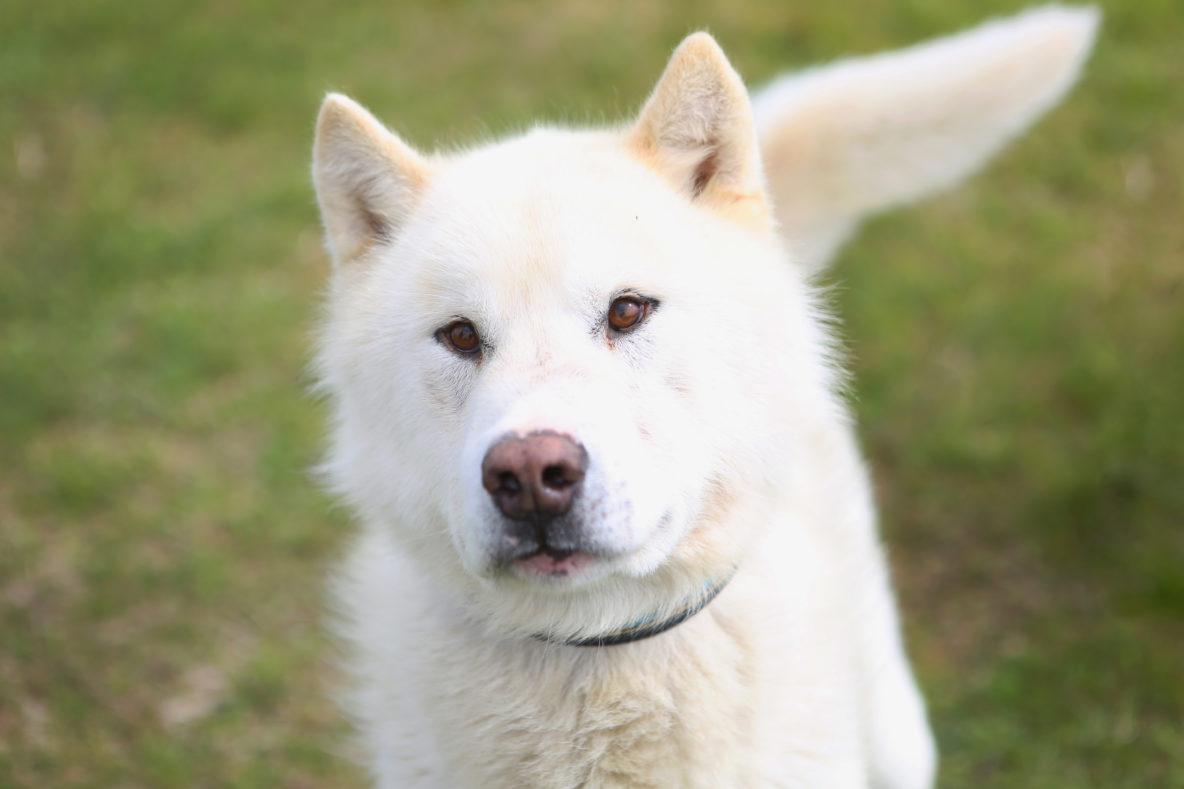 sled dog white husky
