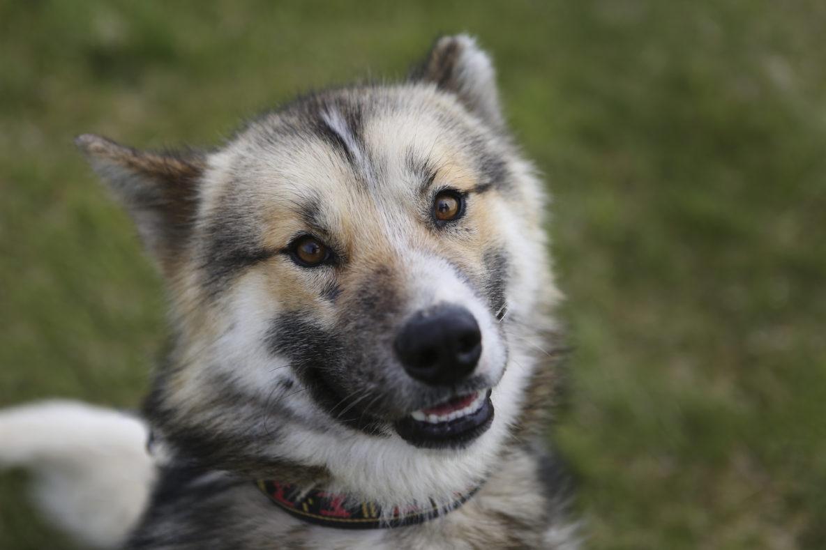 sled dog brown husky