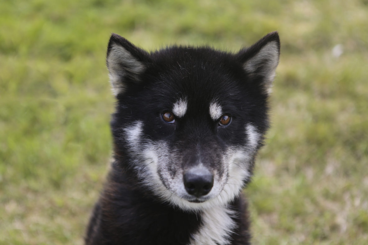 sled dog black and white greenlandic husky