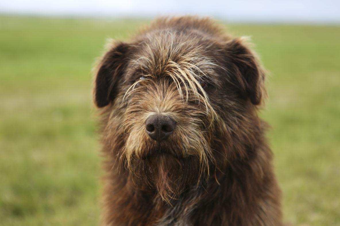 sled dog brown alaskan husky