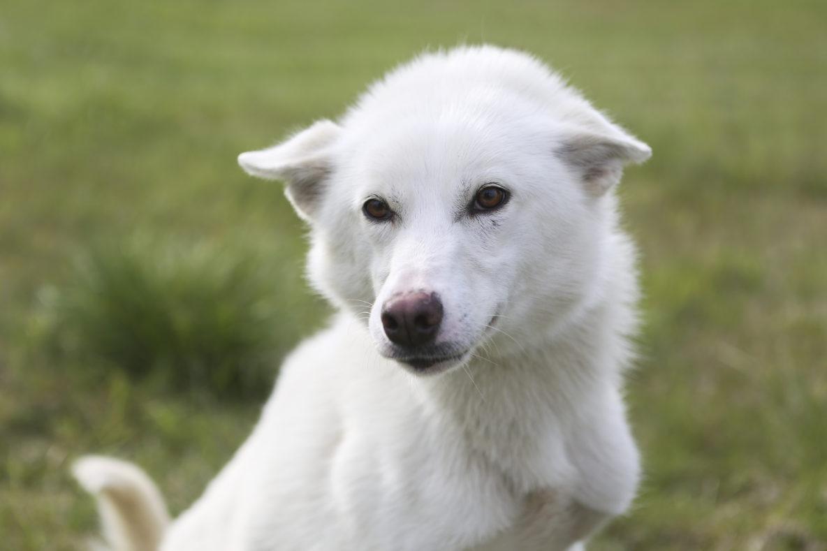 sled dog white alaskan husky