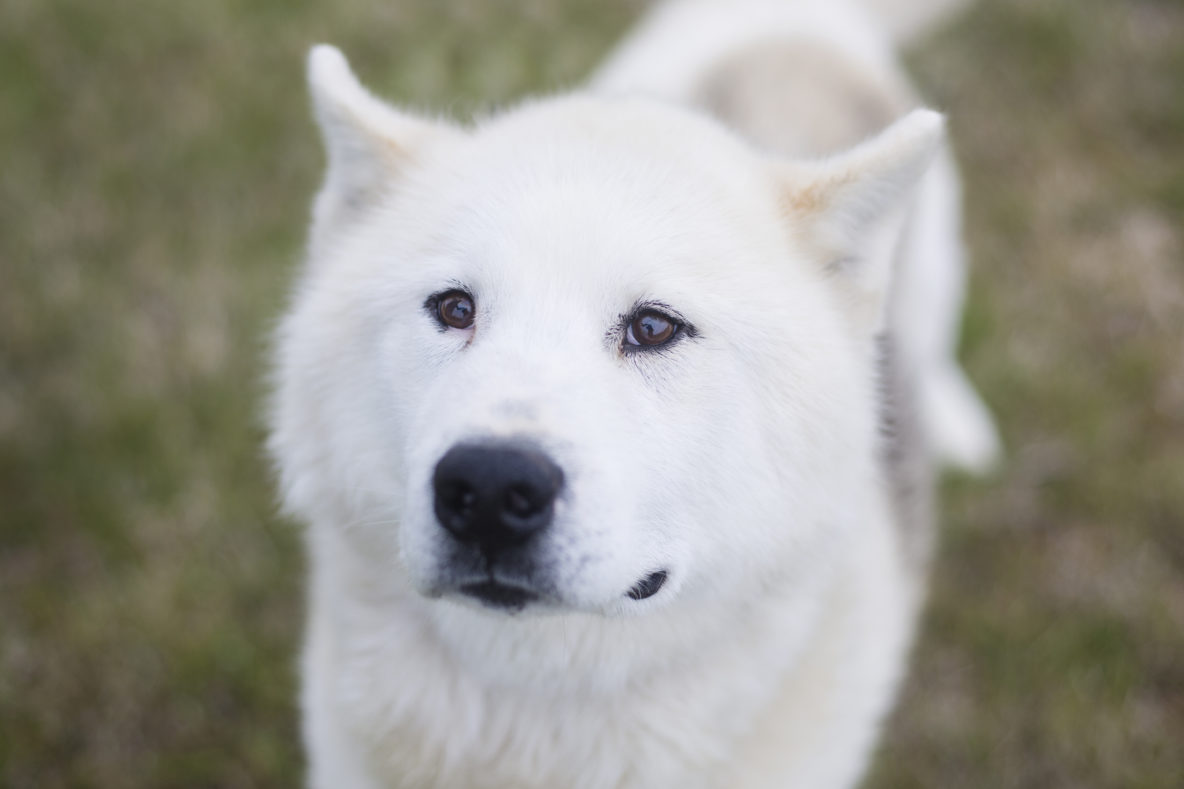 white sled dog greenlandic husky