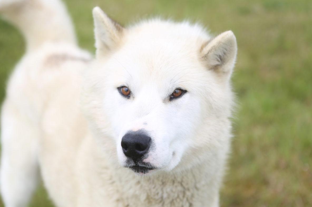sled dog whilte greenlandic dog