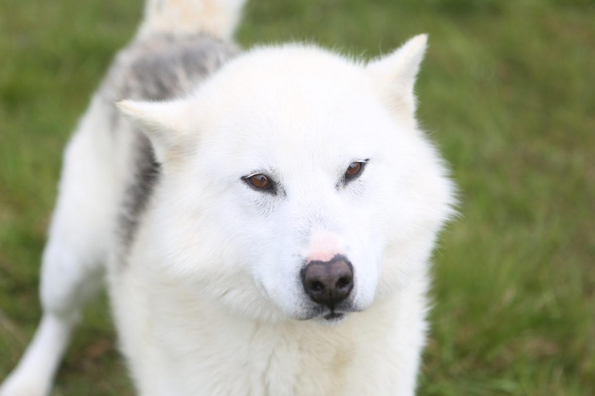 sled dog white greenlandic dog