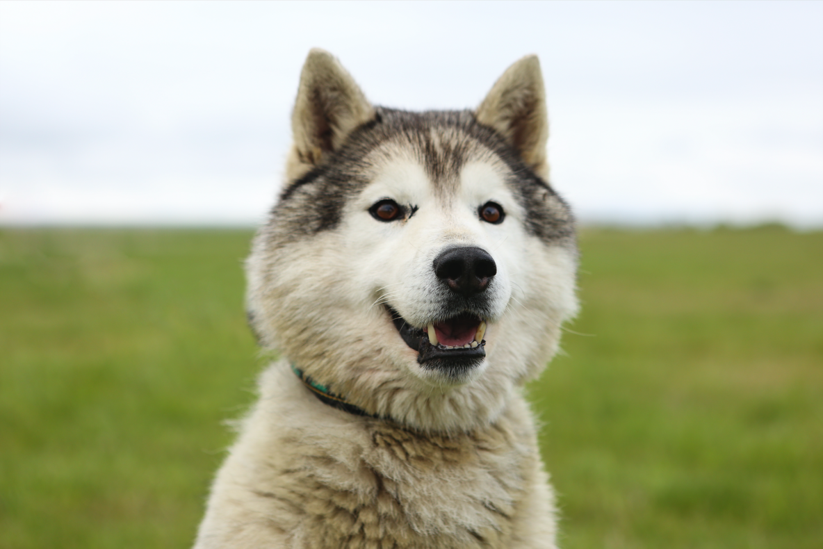 sled dog gray white husky
