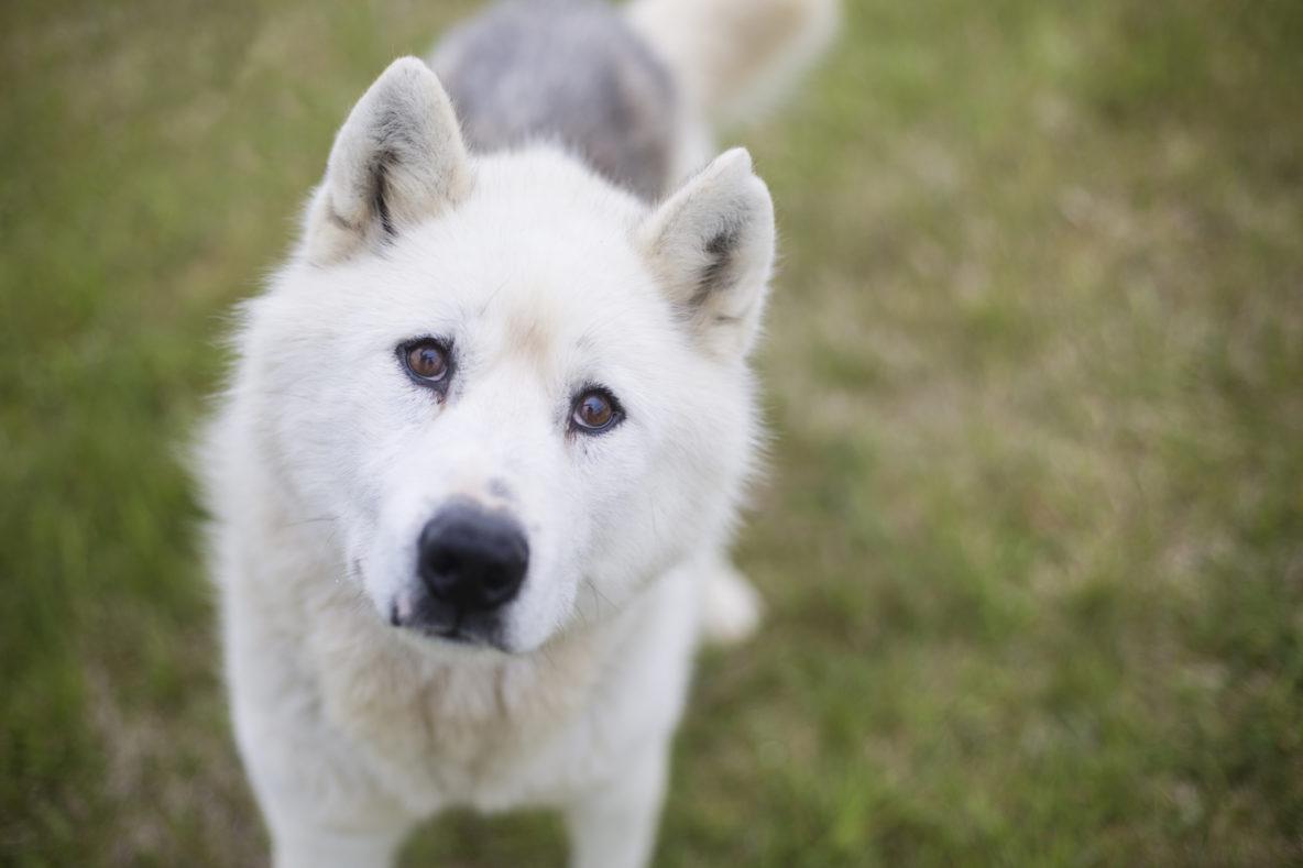sled dog husky greenlandic